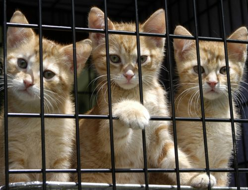 9 Reasons Shelter Cats Are the Best Adoptees